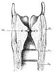 Cambridge_Natural_History_Mammalia_Fig_285